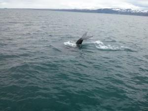Zum Whale Watching nach Husavik, eine lohnenswerte Tour