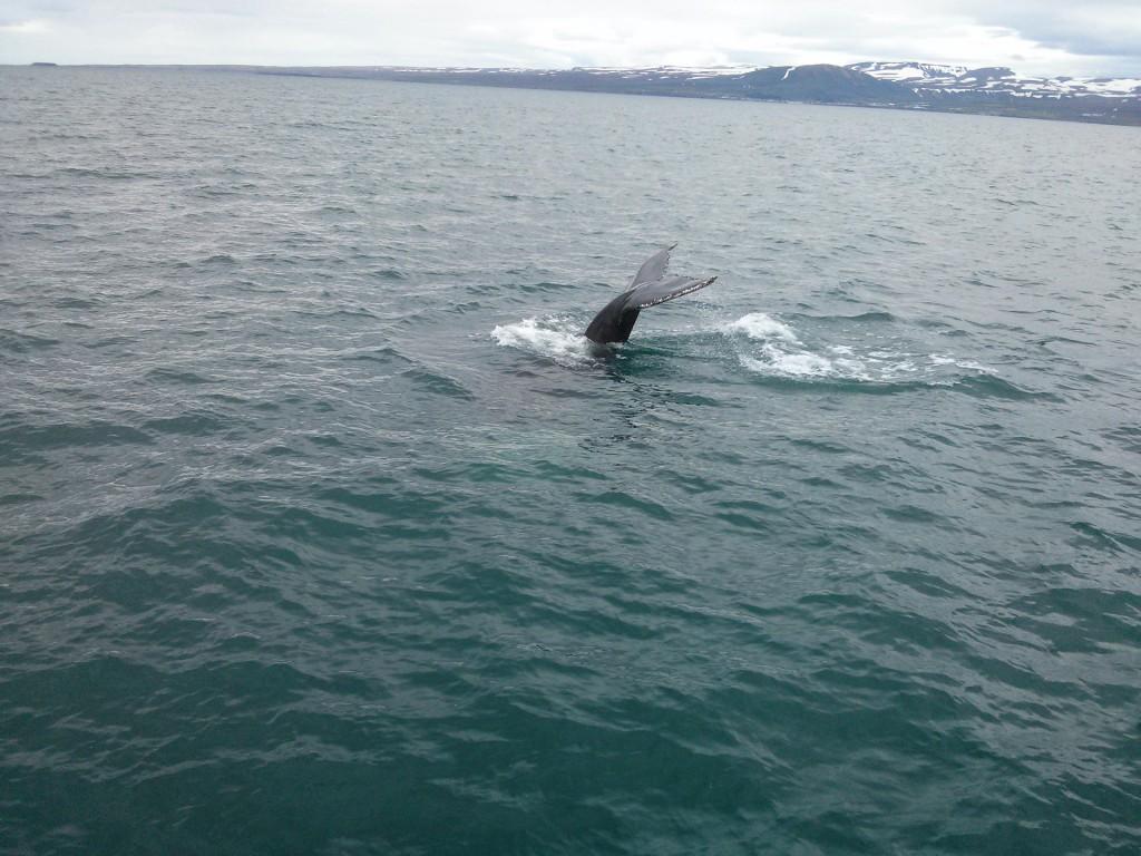 Wale sieht man besonders oft im Sommer und Norden der Insel
