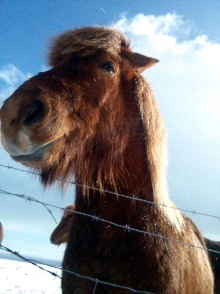 Foto Island Pferd