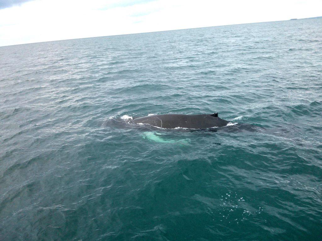 Der Sommer ist die ideale Reisezeit zum Whale Watching in Island