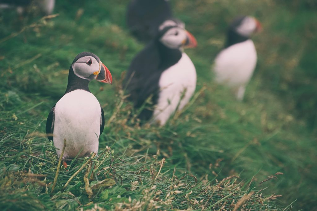 Puffin auf Vestmannaeyjar