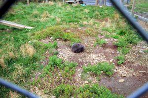 Polarfüchse: Das arctic fox centre in den Westfjorden
