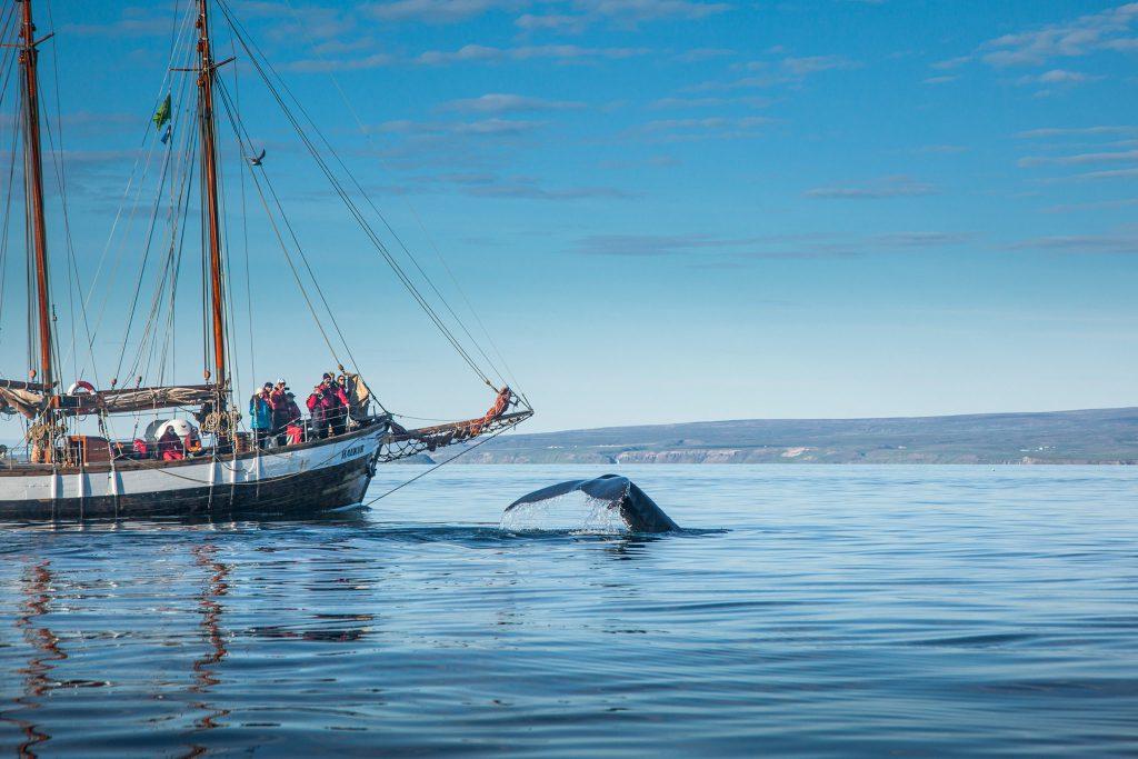 Die beste Zeit zum Whale Watching in Island ist der Hochsommer