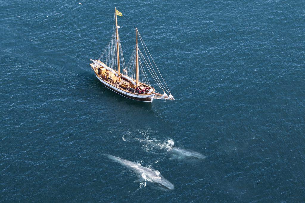 Seltene Gäste: Auch Blauwale kann man beim Whale Watching in Island manchmal sehen