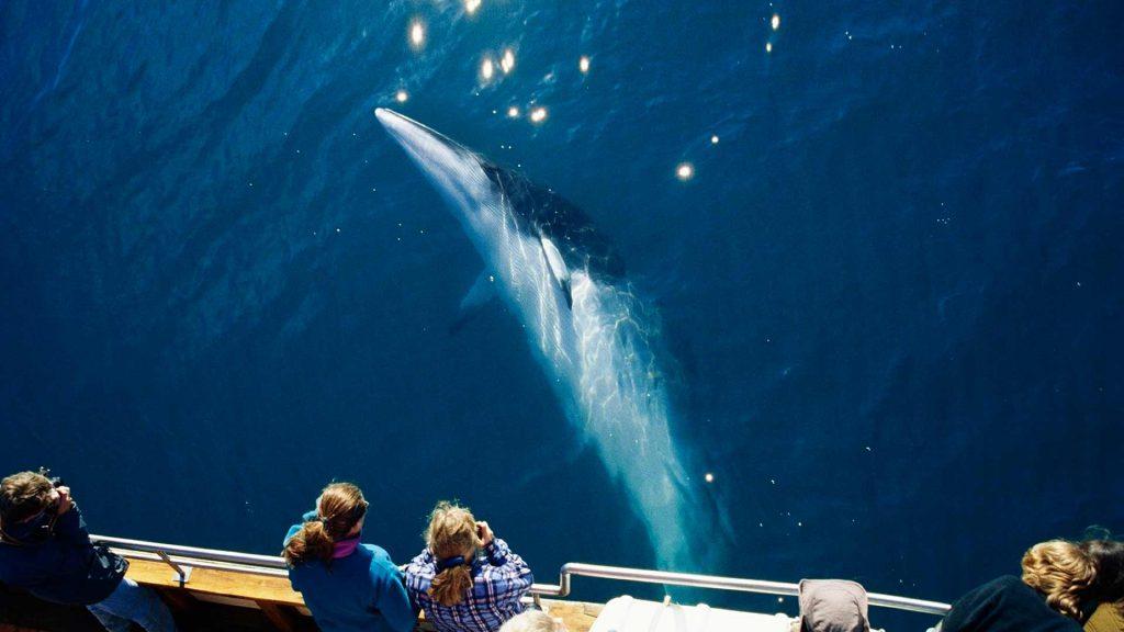 Ein ganz besonderes Erlebnis: Wale sehen in Islands Meeren